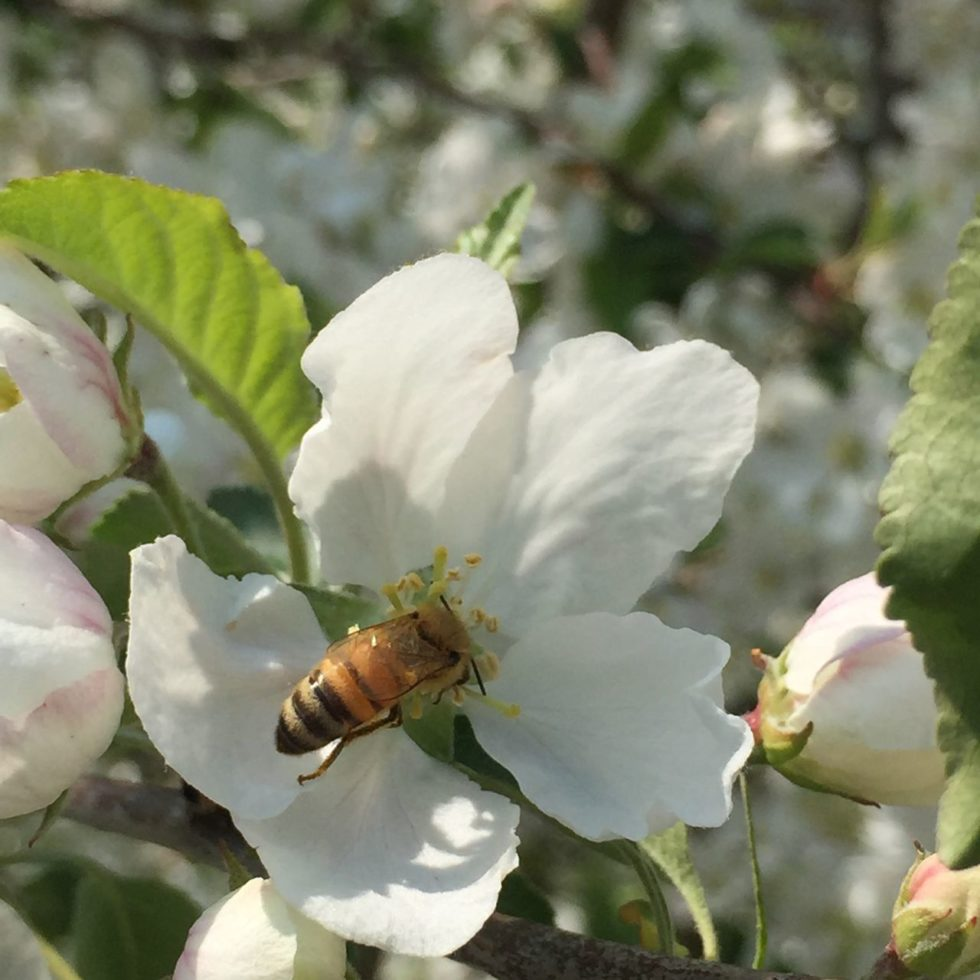 apple blossom and bee